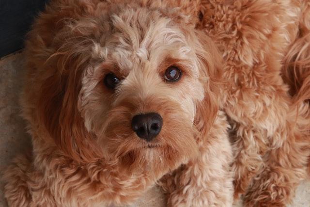 犬の皮膚糸状菌症の臨床症状