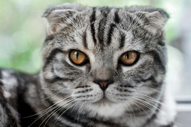 猫のトキソプラズマ症の宿主