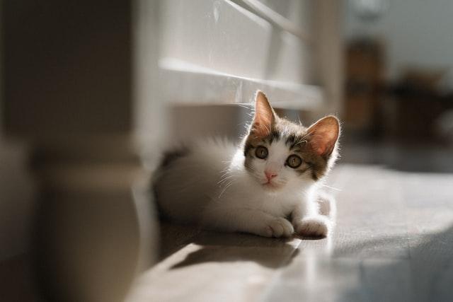 獣医師解説!猫風邪:カリシウイルス〜原因、症状、治療法〜