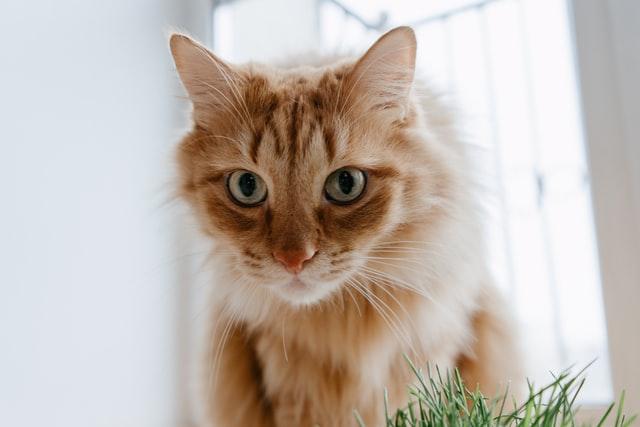 猫の瓜実条虫の生活環
