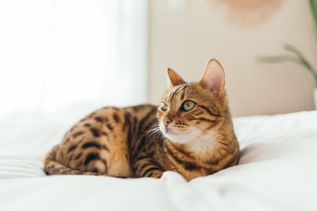 猫のハジラミ感染症の臨床症状