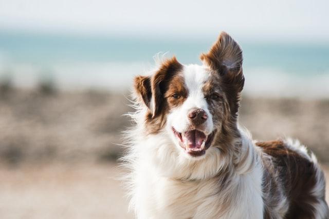 犬の肺吸虫症の感染経路と生活環