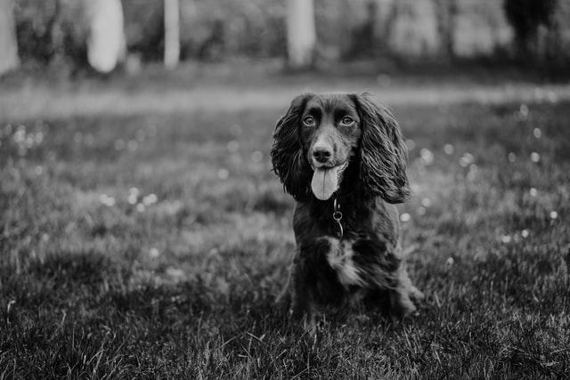 犬における重症熱性血小板減少症候群の初めての発症報告