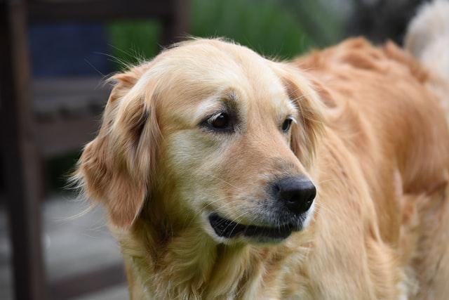 犬の皮膚糸状菌症の感染経路