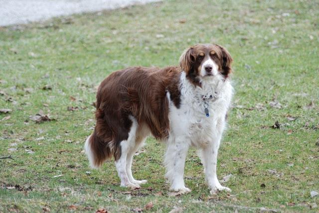 犬の褐色細胞腫の予後