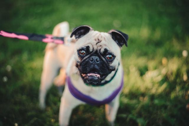 犬のニキビダニ症の感染の診断