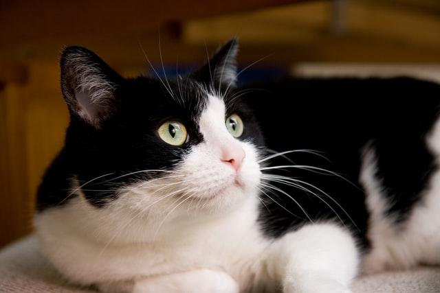 猫の甲状腺機能亢進症の検査