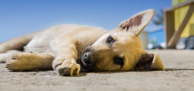 犬のインスリノーマの画像診断