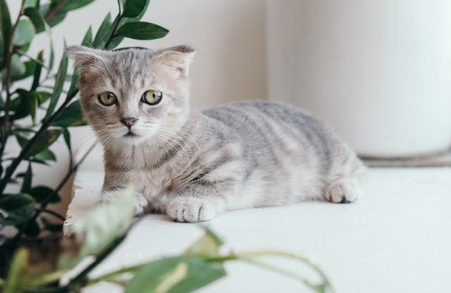 獣医師解説!猫の甲状腺機能亢進症〜症状、原因、治療方法〜