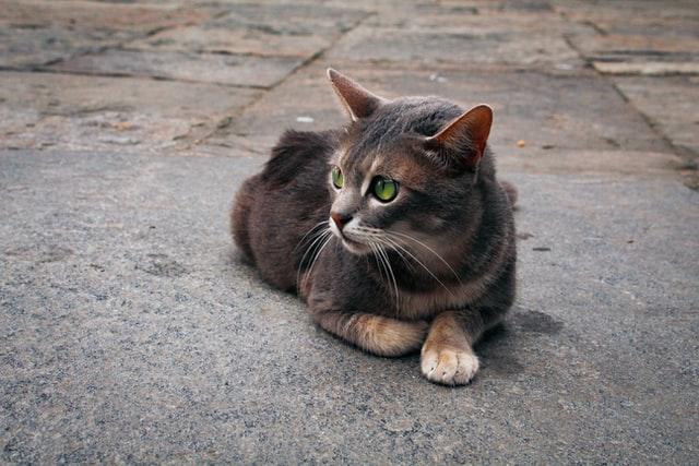 猫の甲状腺機能亢進症の疫学